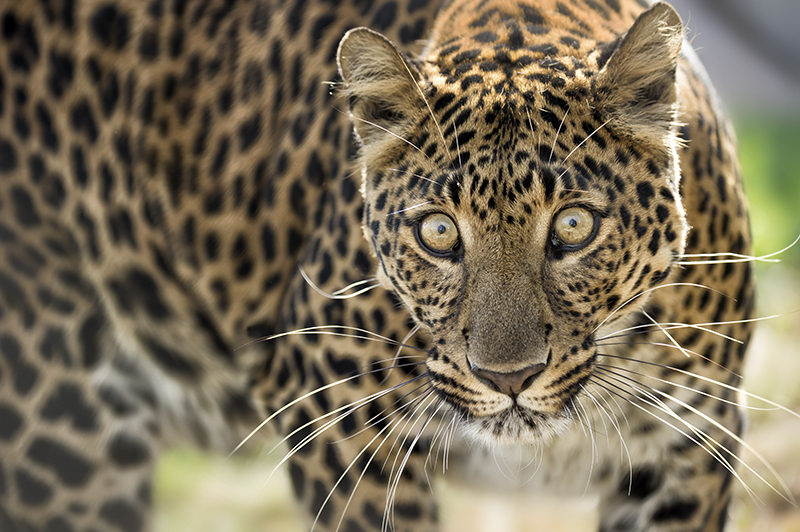 Leopard Photo by Kathleen Reeder