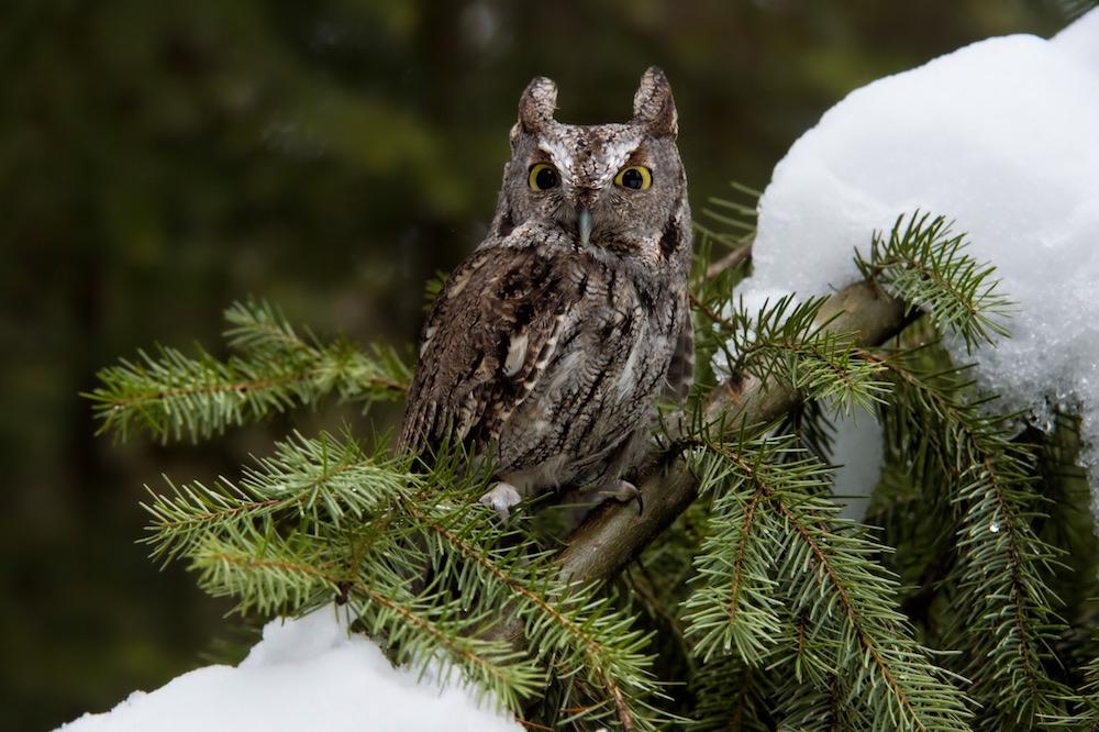 Western Screech Owl in Montana