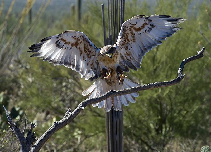 Ferruginous Hawk during Raptor Free Flight