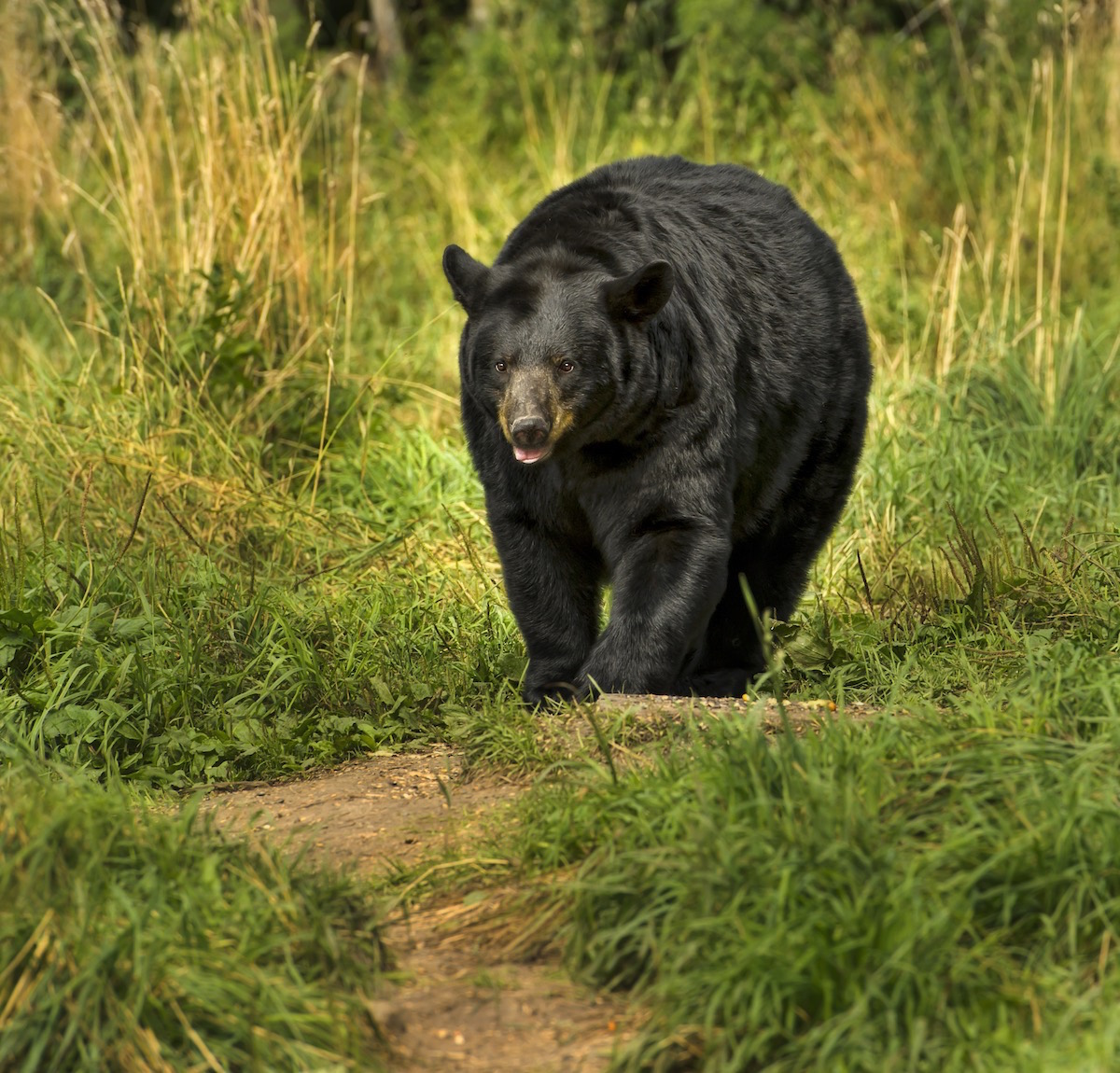 a look at the north american black bear I travelled from australia to ely just to see the black bears and cannot praise all at the north american bear centre highly enough they operate on a small budget and most staff are volunteers who do an amazing job and are very knowledgeable.