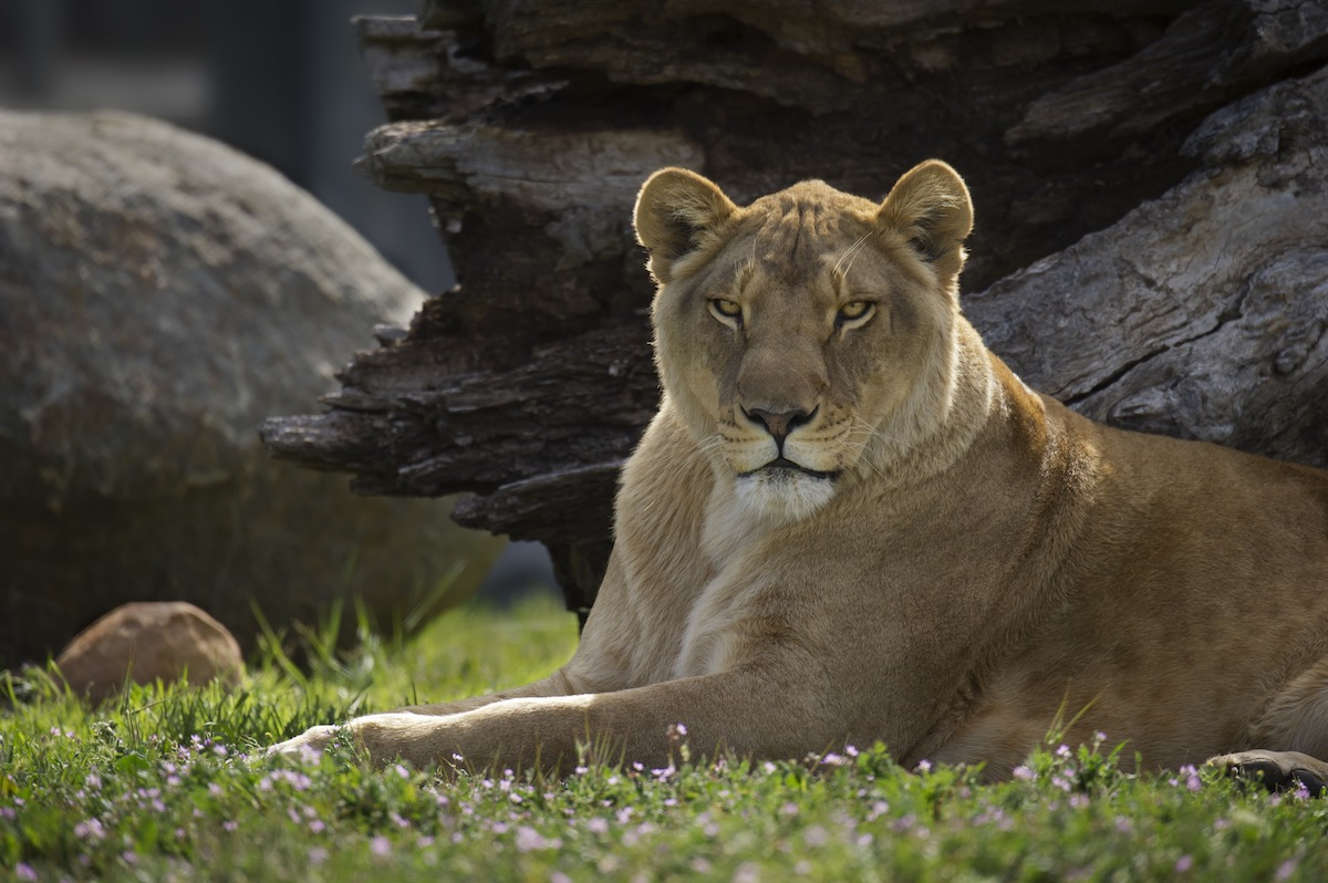 lioness at Lions Tigers & Bears in Alpine, California 2014-03-20_04079
