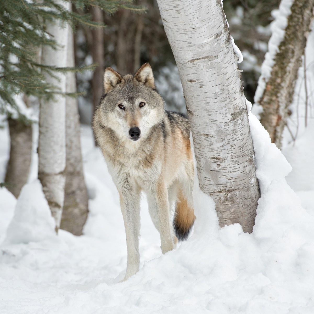 wildlife in winter snow photography workshop with kathleen reeder