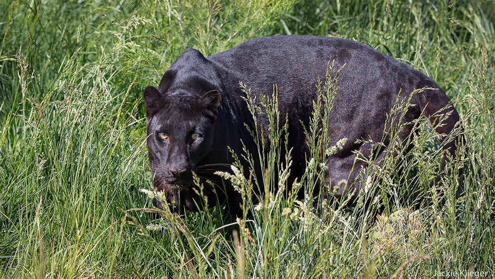 Black Leopard, Camp Verde, AZ.