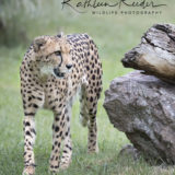 Cheetah photo by Kathleen Reeder