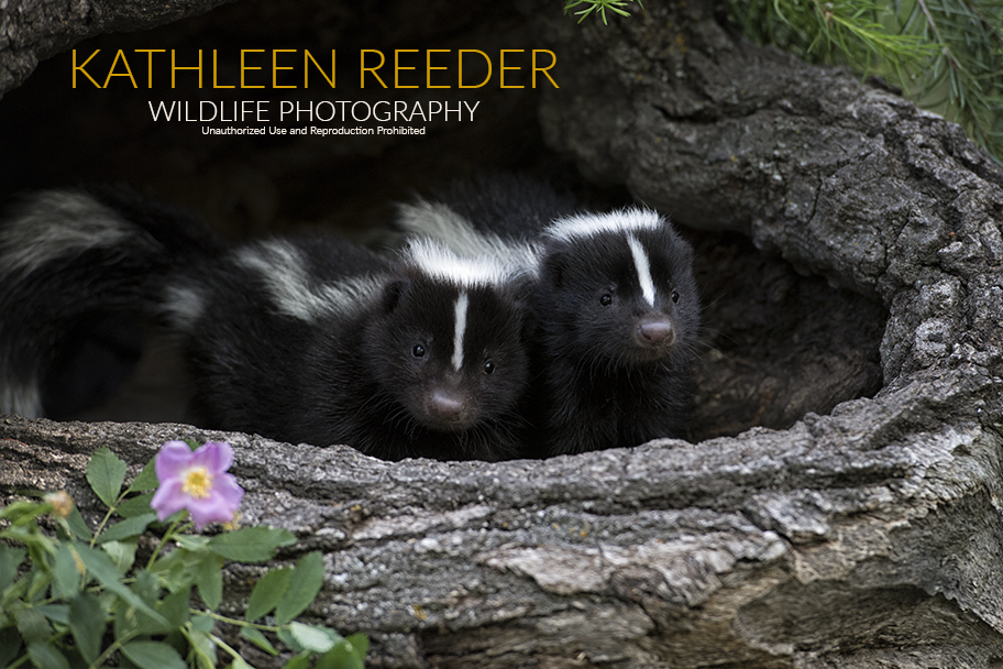 Striped skunk kits photo by Kathleen Reeder