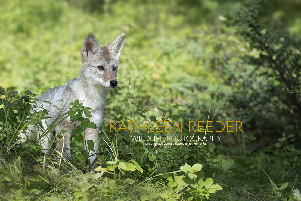 Coyote Pup photo by Kathleen Reeder