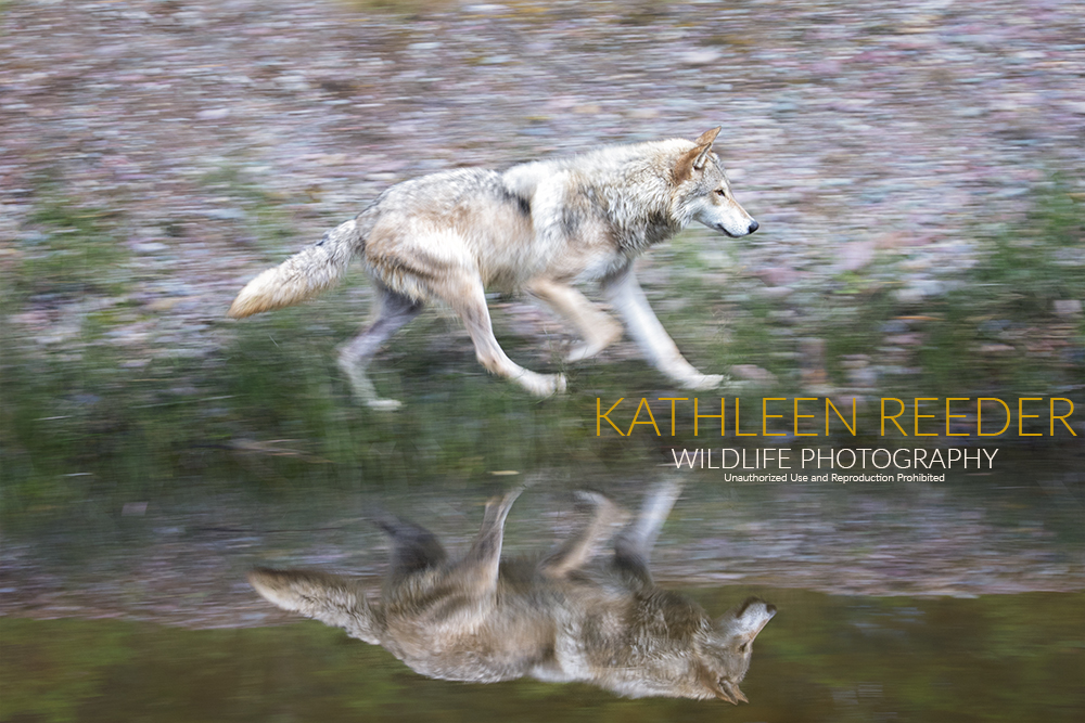 Gray Wolf Photo by Kathleen Reeder