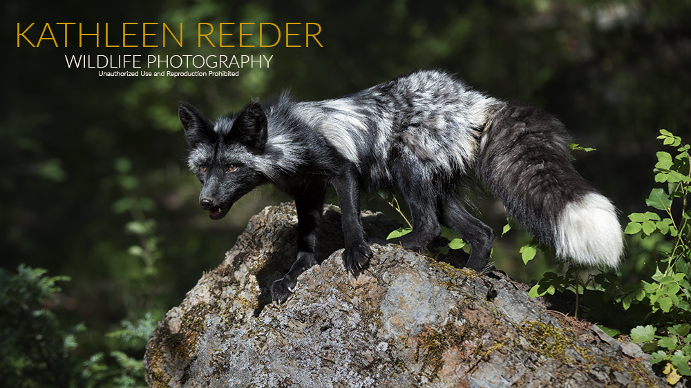 Silver Fox Photo by Kathleen Reeder