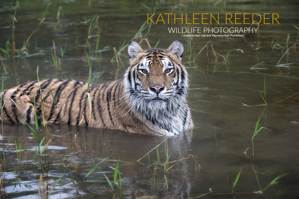 Siberian Tiger Photo by Kathleen Reeder