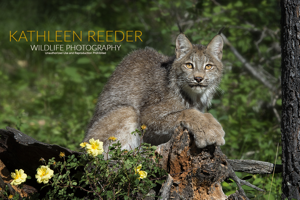 Canada Lynx Photo by Kathleen Reeder