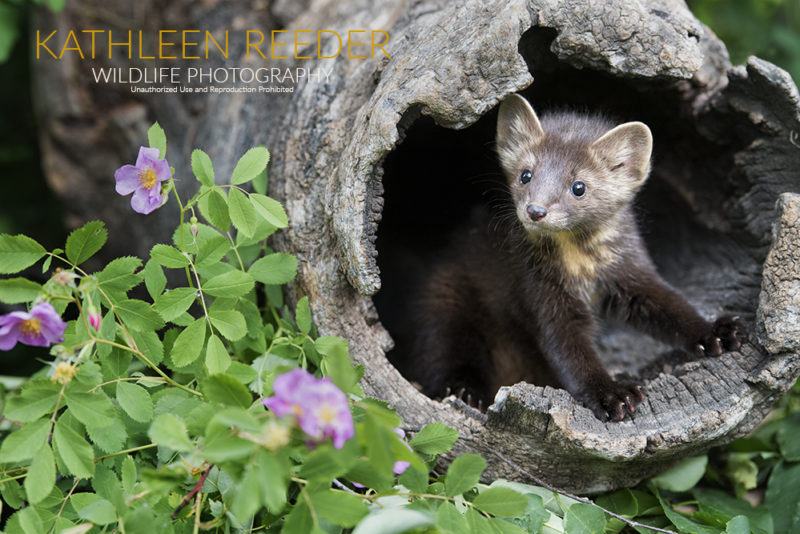 Pine Marten Photo by Kathleen Reeder