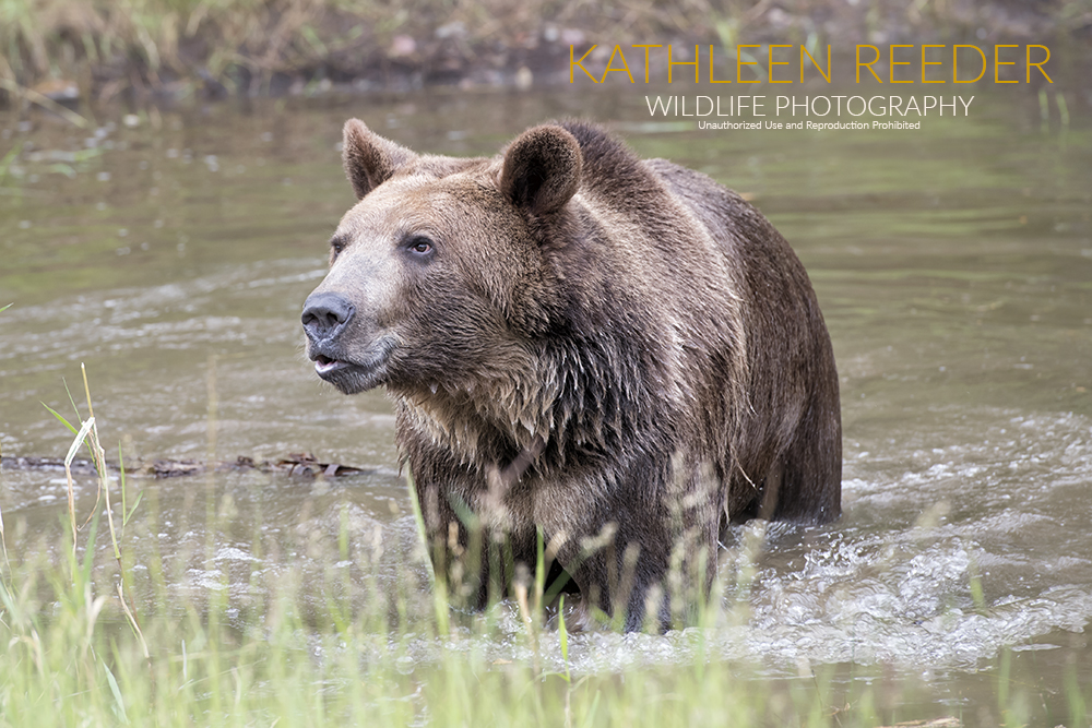 Syrian Brown Bear Photo by Kathleen Reeder