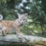 bobcat photo by Kathleen Reeder
