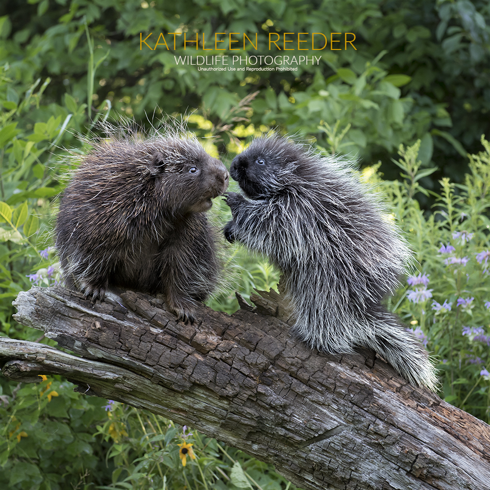 Porcupines photo by Kathleen Reeder