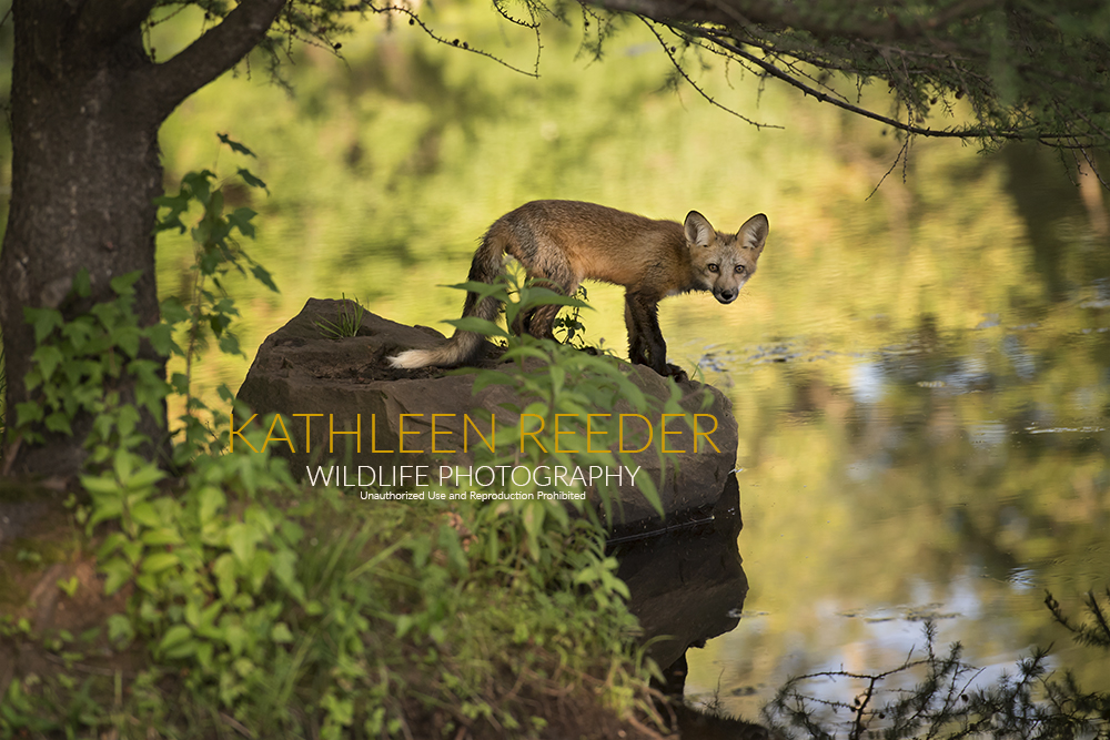 Red fox kit photo by Kathleen Reeder