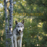 Wolf photo by Kathleen Reeder