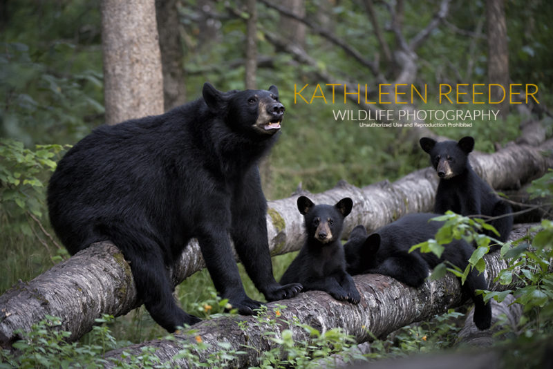 Black bears. Photo by Kathleen Reeder