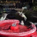 hummingbirds photo by Kathleen Reeder