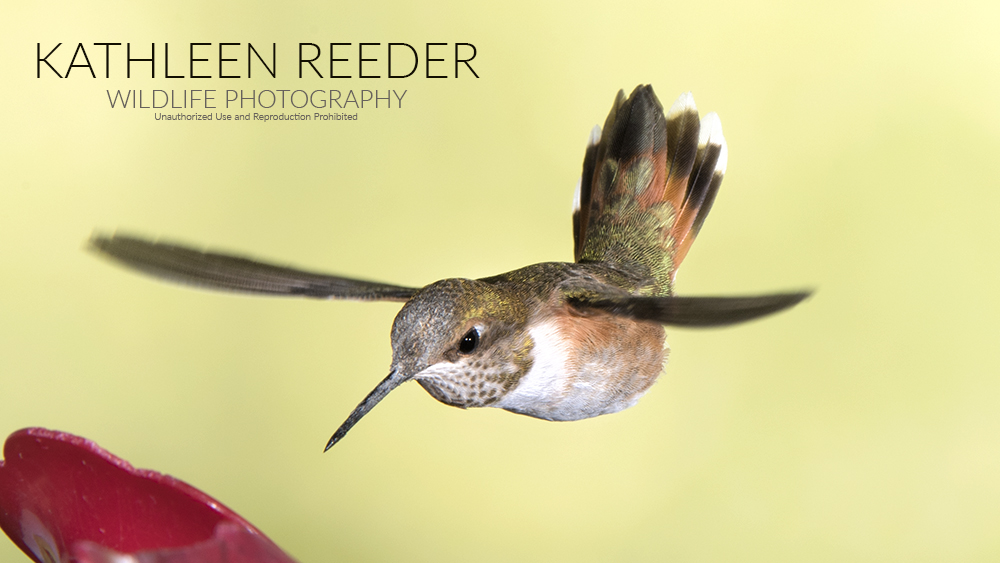 hummingbird photo by Kathleen Reeder