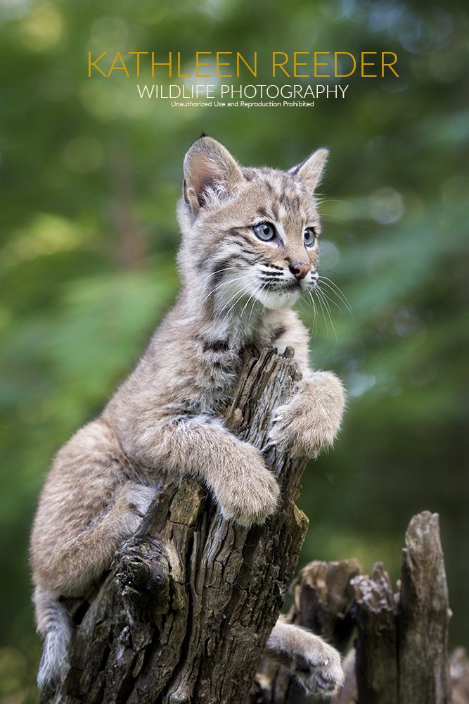 bobcat kitten photo by Kathleen Reeder