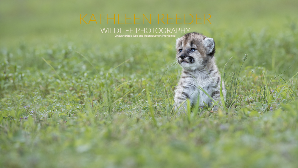 mountain lion cub photo by Kathleen Reeder