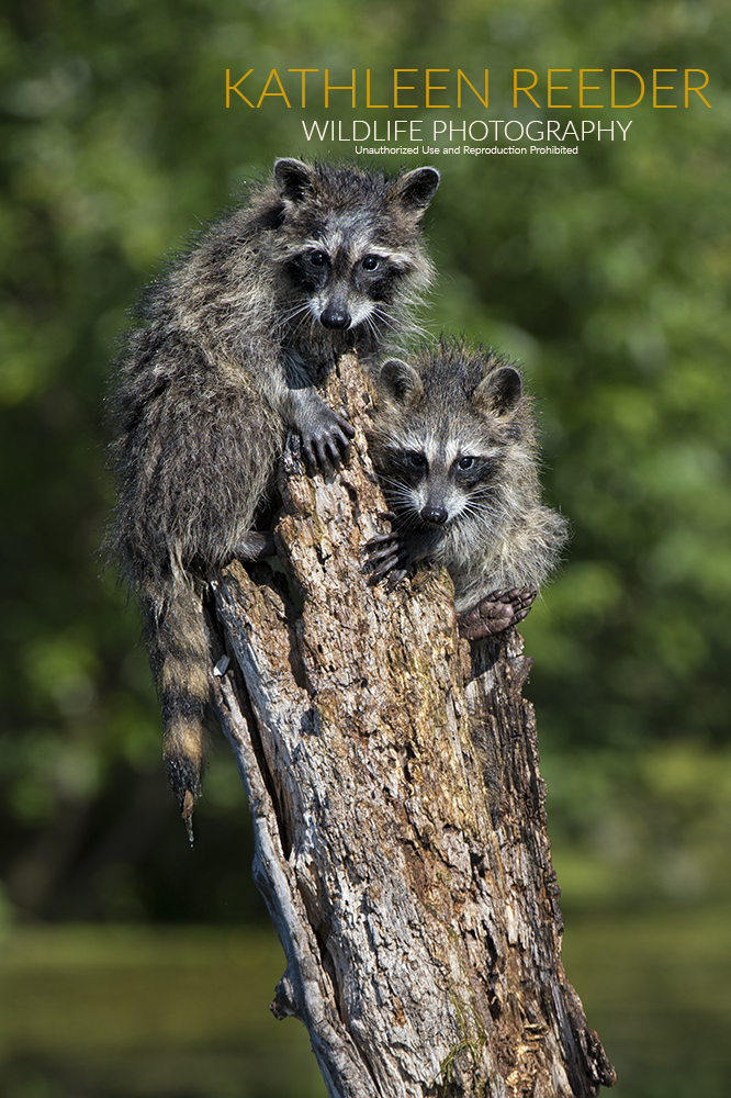 raccoons photo by Kathleen Reeder