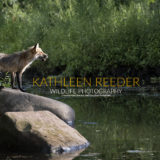 Red fox photo by Kathleen Reeder