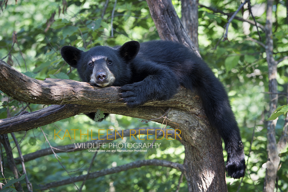 black bear photo by Kathleen Reeder