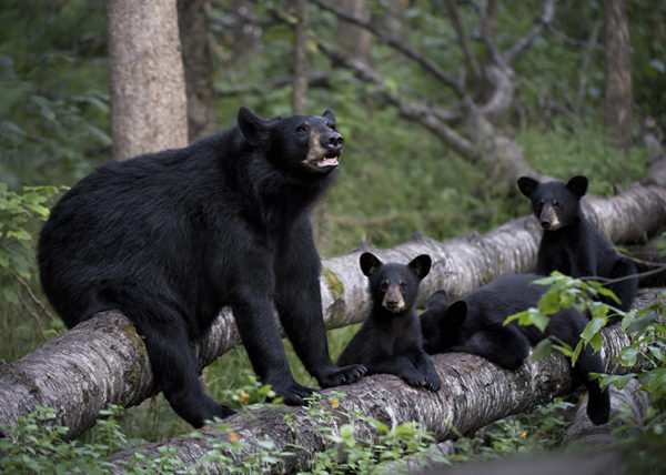 Black bears photo by Kathleen Reeder