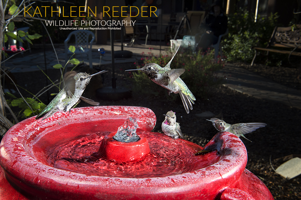 hummingbirds photo by Kathleen Reeder