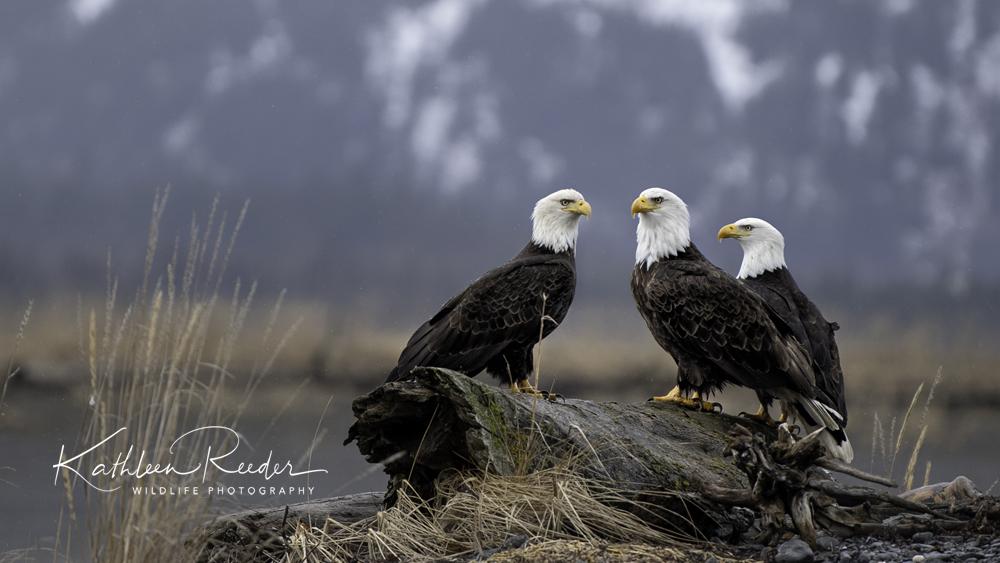 Inspiration from the Eagle   Kathleen Reeder Wildlife Photographer
